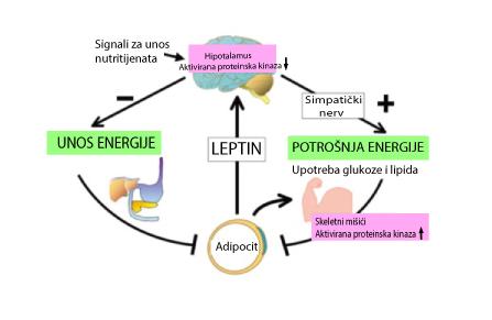 Uticaj hormona na telesnu težinu – Leptin